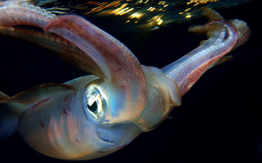 Каракатицевидный кальмар в Красном море