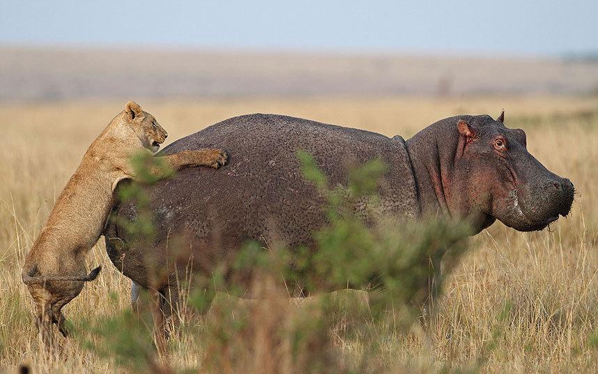 Львица набросилась на одинокого бегемота