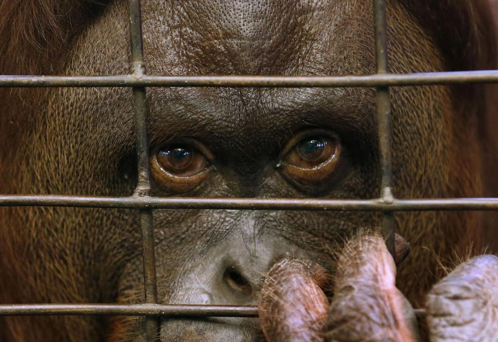 Орангутанг в зоопарке в Бангкоке, Таиланд
