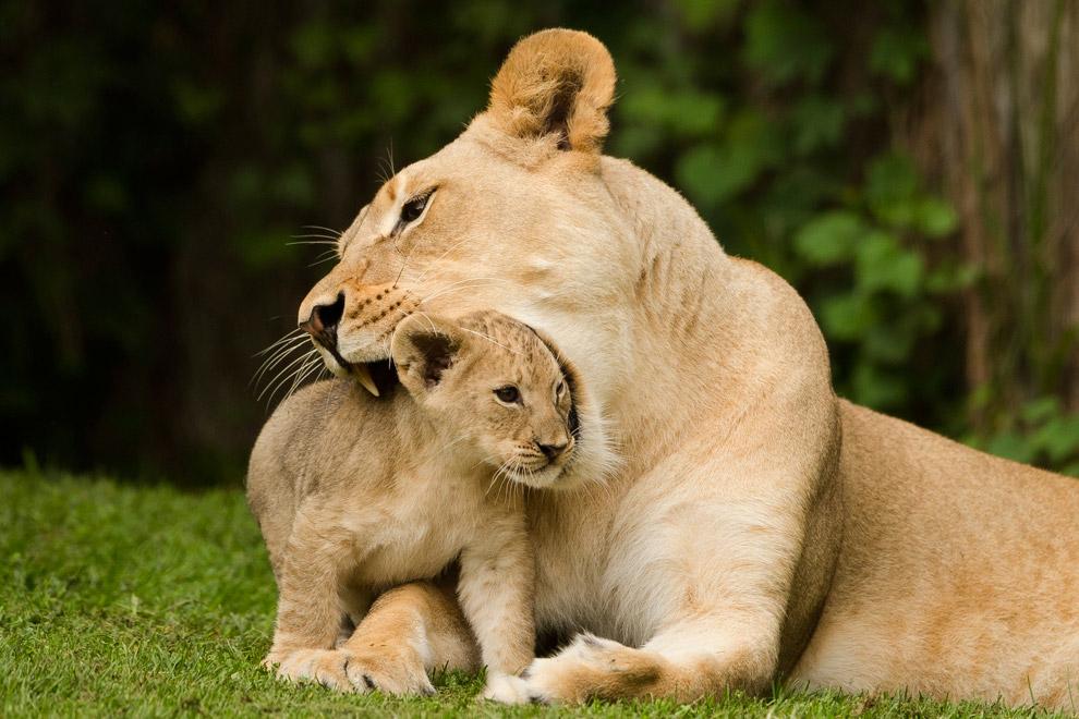 Львица и львенок в зоопарке Флориды