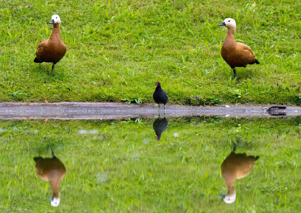 Красные утки в пруду на юге Германии
