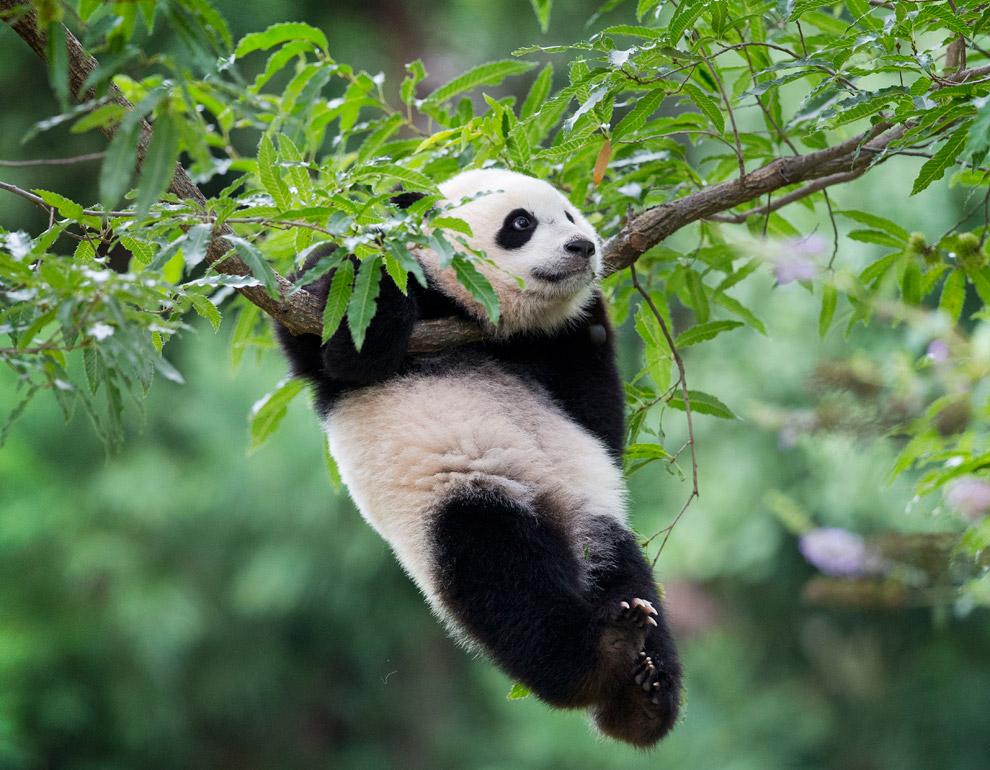Гимнаст-панда в зоопарке в Вашингтоне