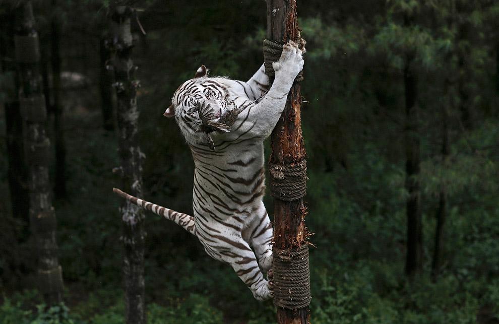 енгальский тигр
