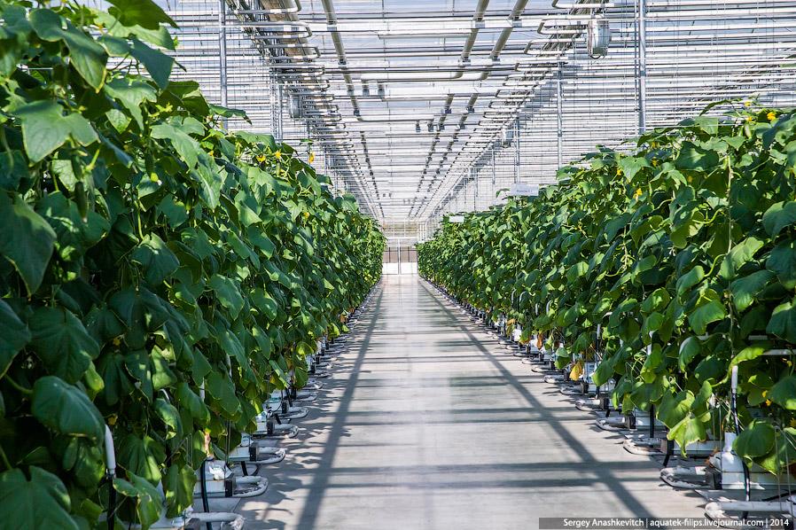 Промышленное выращивание огурцов в теплице 56