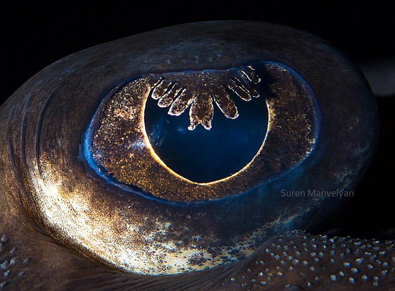 Морская лисица, или колючий скат