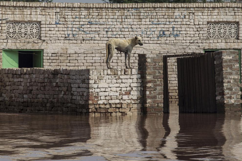 Пес застрял в затопленном доме, провинция Пенджаб