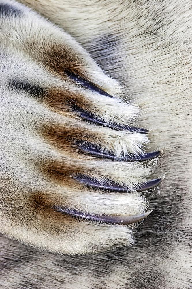 Когти серого тюленя