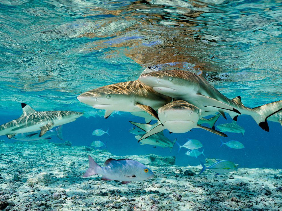 Чёрноперые акулы