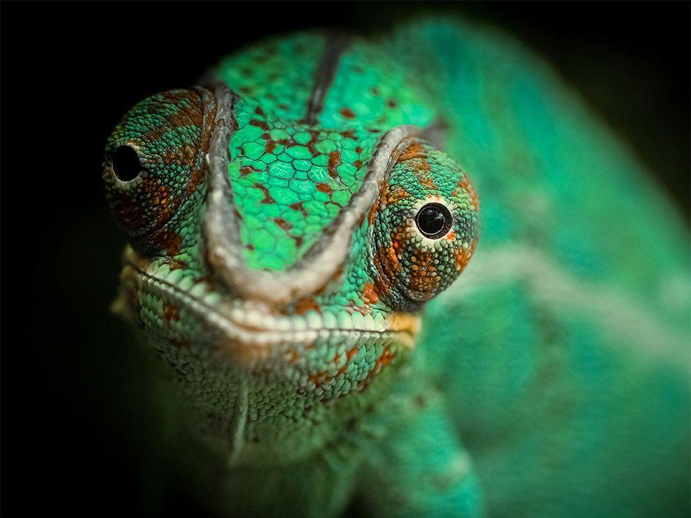 Хамелеоны меняют цвет в зависимости от настроения, температуры, света и других раздражителей
