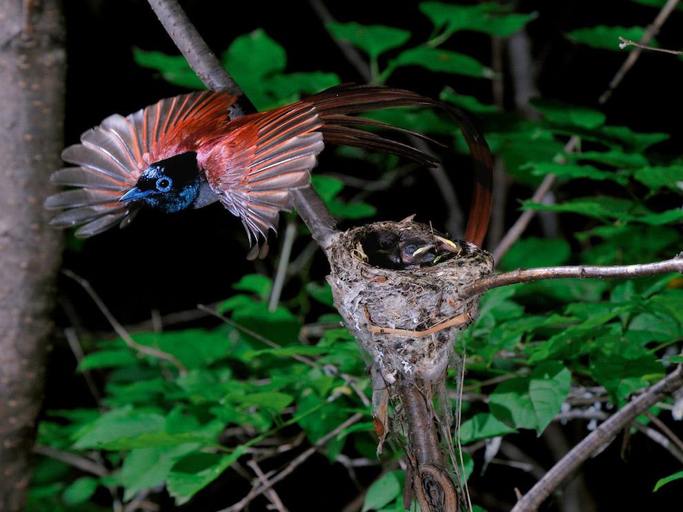 Райская длиннохвостая мухоловка, Россия