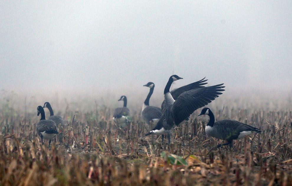 Канадские гуси в кукурузном поле во время тумана