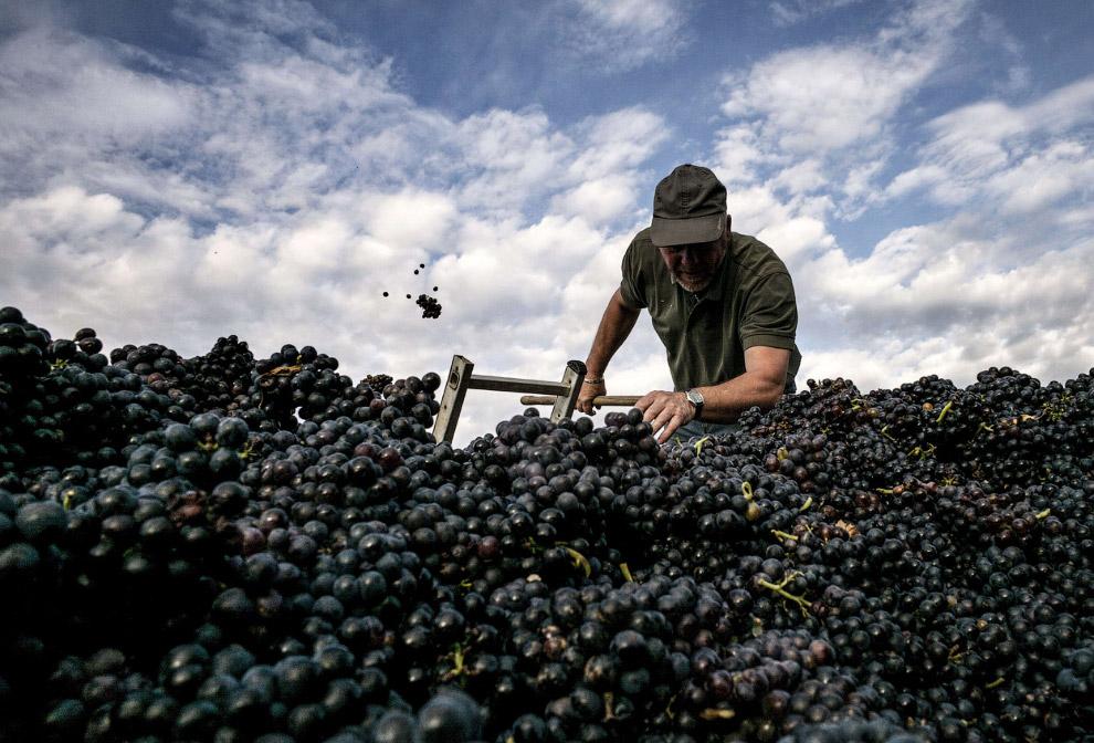 Урожай винограда, Франция