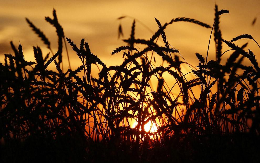 Пшеничное поле недалеко от Красноярска