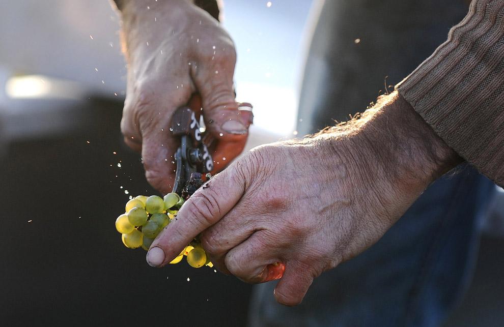 Виноделы из западной Франции