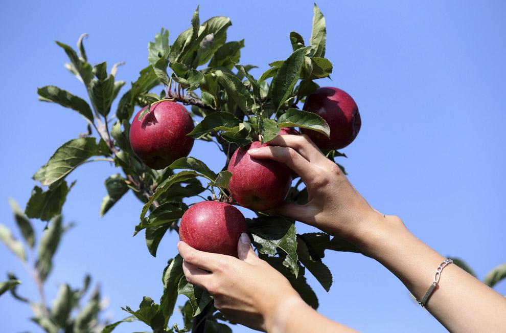 Яблоки поспели