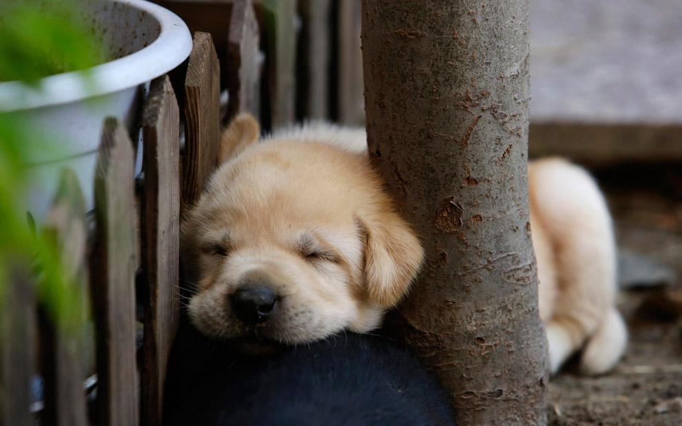 29-дневный щенок лабрадора спит у дерева на дворе в Пекине