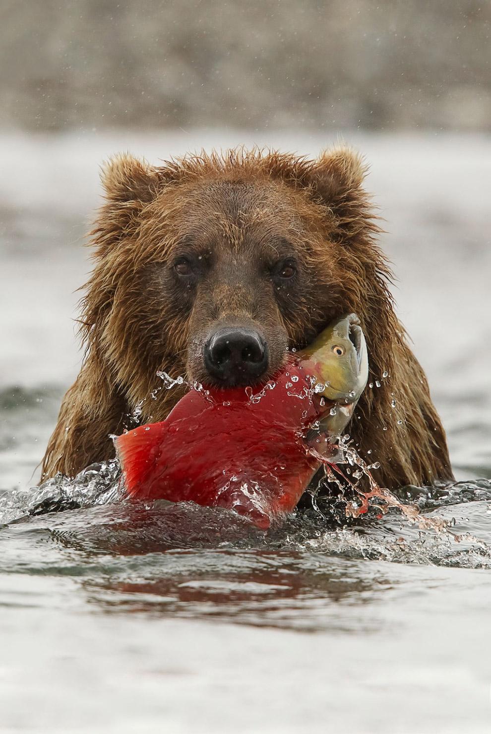 Медведь с семгой в Национальном парке Катмай на АляскеМедведь с семгой в Национальном парке Катмай на Аляске