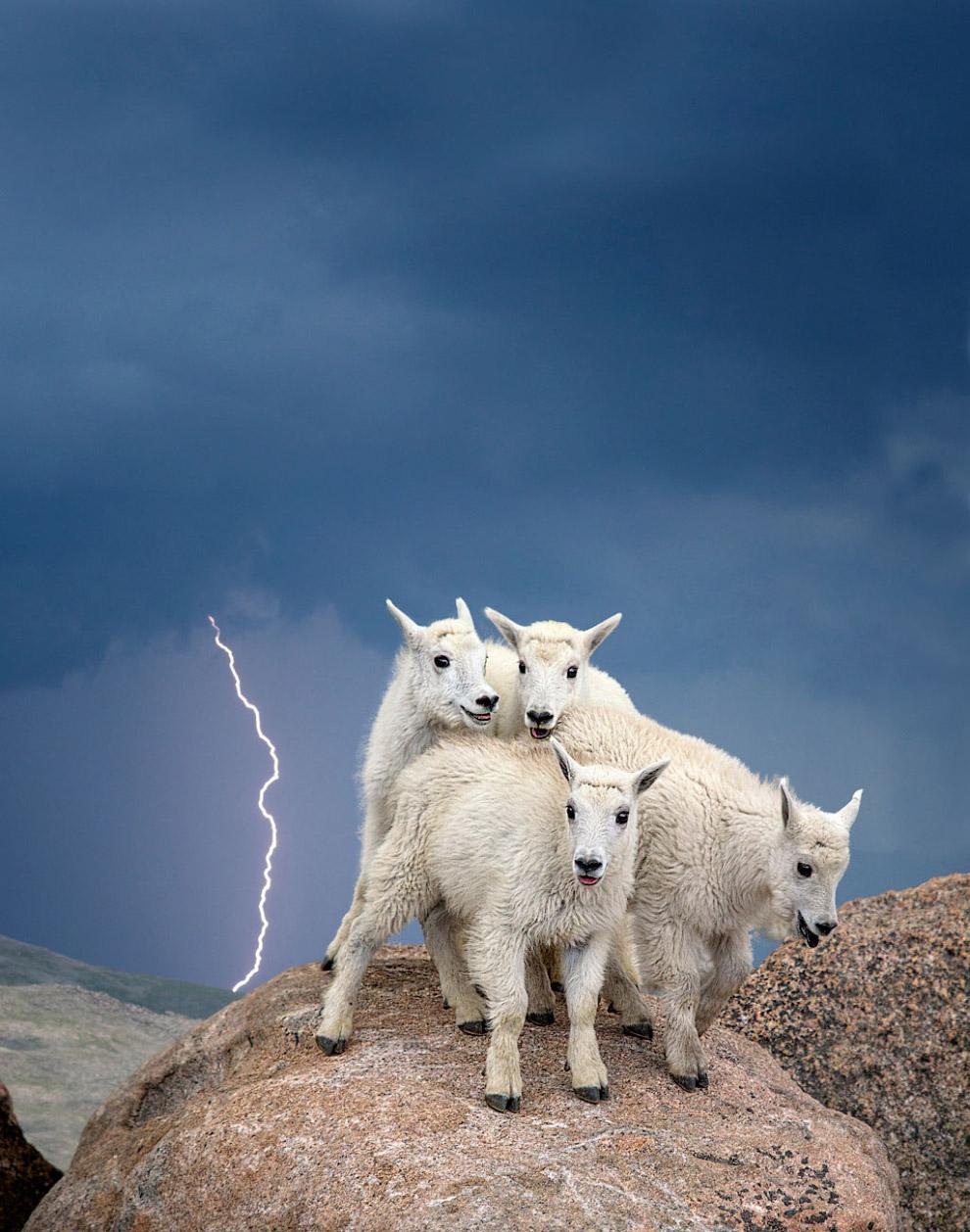 Горные козлы на вершине горы Эванс во время грозы, Колорадо