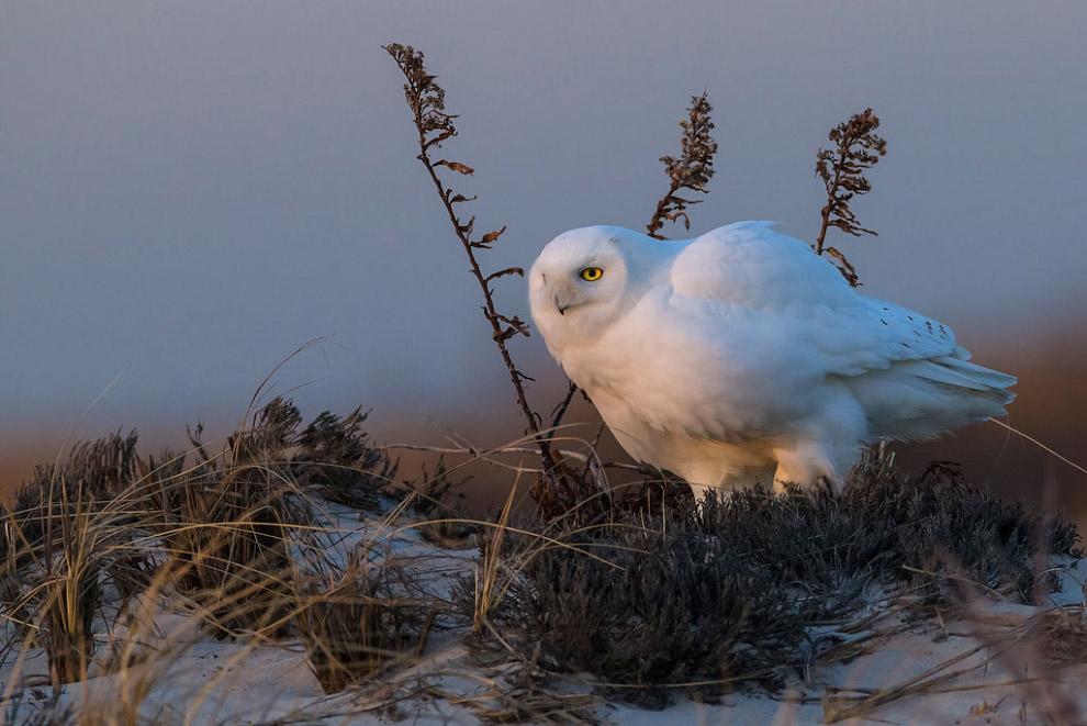 Белая сова в заповеднике в штате Нью-Йорк