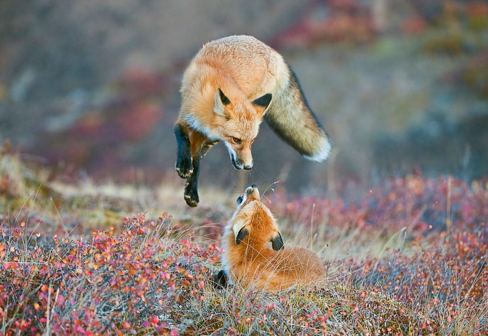 Лисьи игры в национальном парке Денали, Аляска