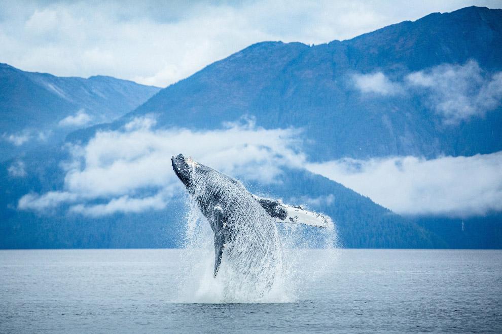 Горбатый кит, Британская Колумбия, Канада