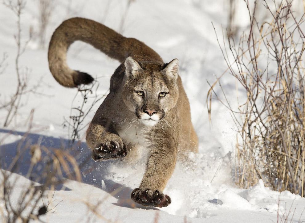На сегодня закончим потрясающей фотографией пумы из штата Монтана