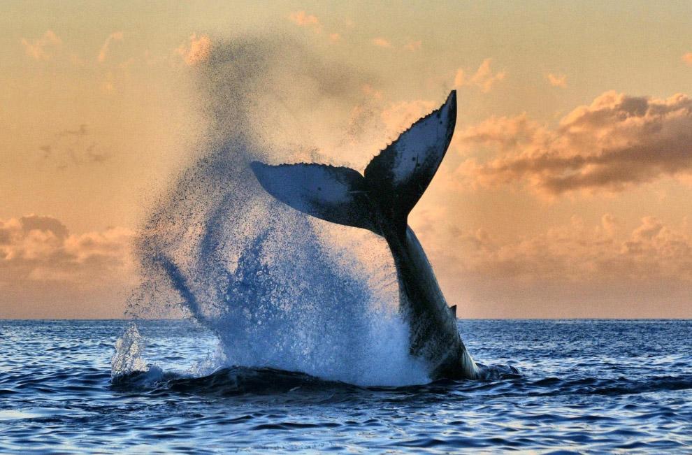 Горбатый кит, Мауи, Гавайи