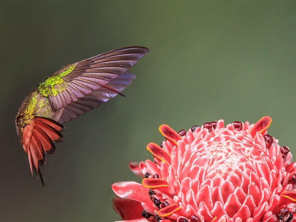 Колибри около цветка в Коста-Рики