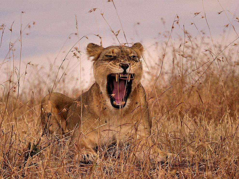 Львица в заповеднике Масаи-Мара