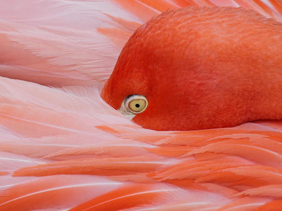 Застенчивый фламинго в штате Алабама