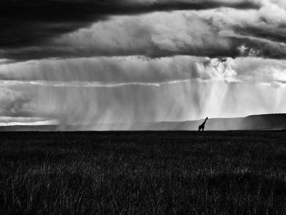 Сильный дождь и одинокий жираф, Африка