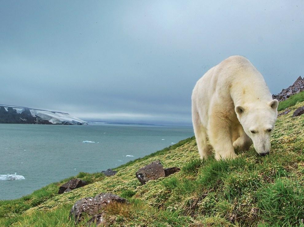 Белый медведь, Земля Франца-Иосифа
