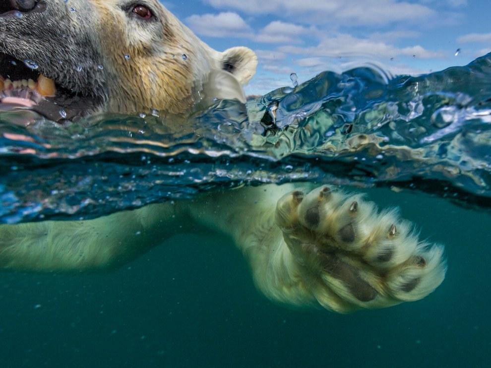 Белый медведь, Канада