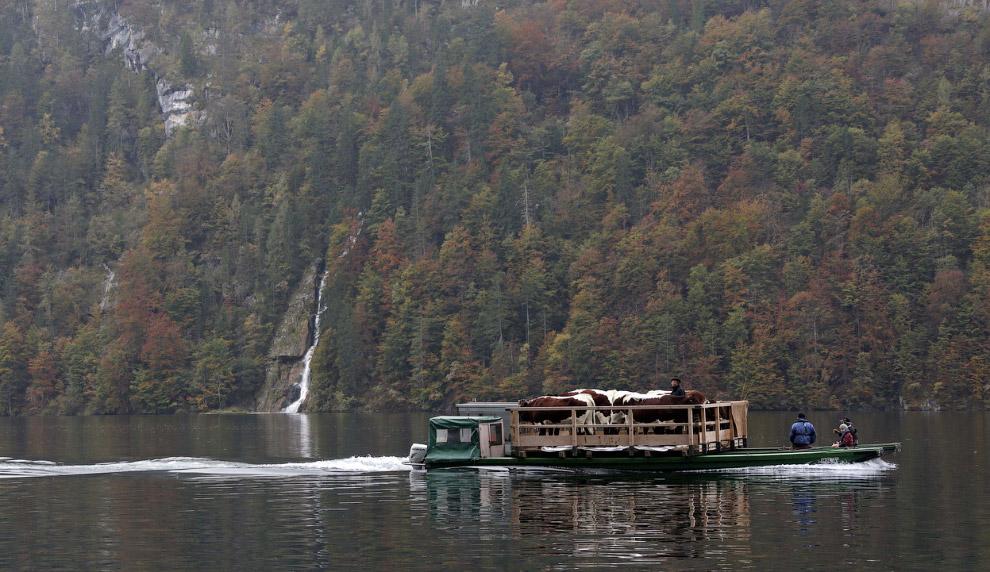 Баварские фермеры возвращают скот с летних пастбищ на лодке через озеро около Берхтесгадена