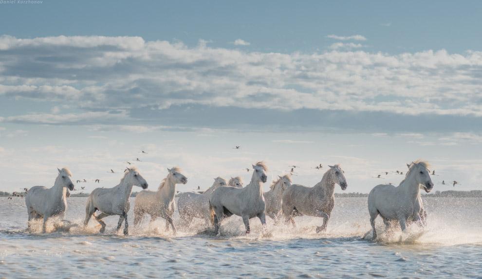 Лошади камарга