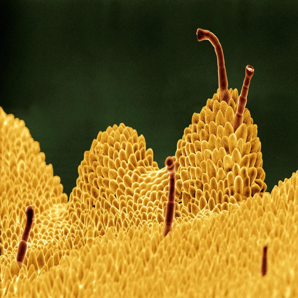 Примула — род растений из семейства Первоцветные