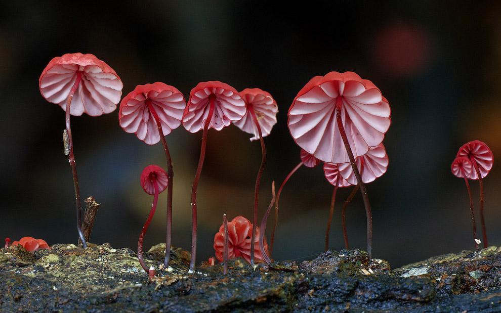 Marasmius Haematocephalus — грибы из рода Негниючник