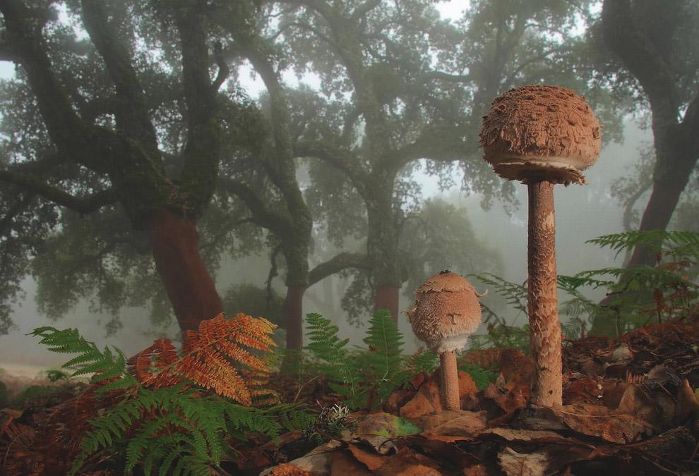 Лепиота, или чешуйница — род грибов семейства Шампиньоновые