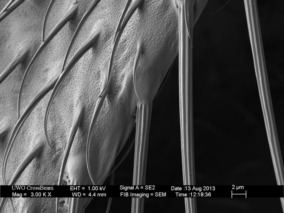 Плодовая муха, 3000-кратное увеличение