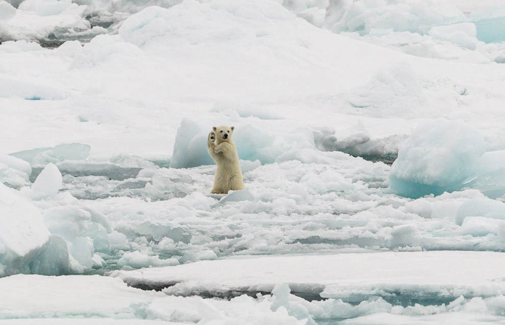 Медвежонок на льдинах на Шпицбергене