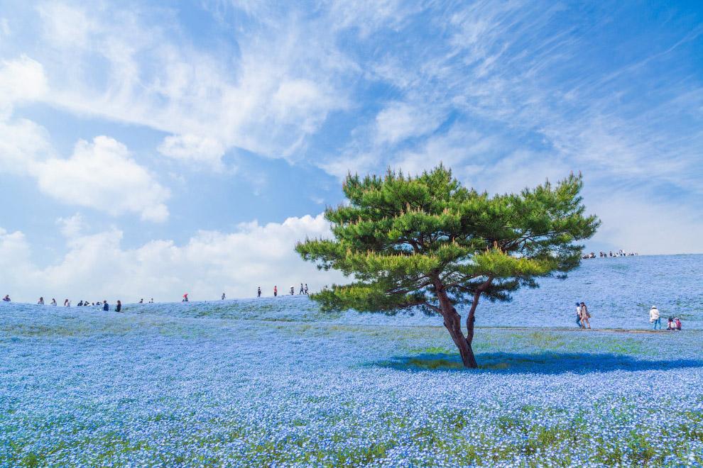 Голубое растение – это немофила