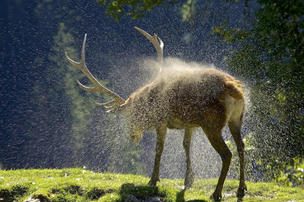 Олень в австрийских Альпах, стряхивает с себя воду