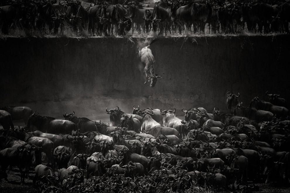Прыжок антилопы гну в реку Мара в Танзании