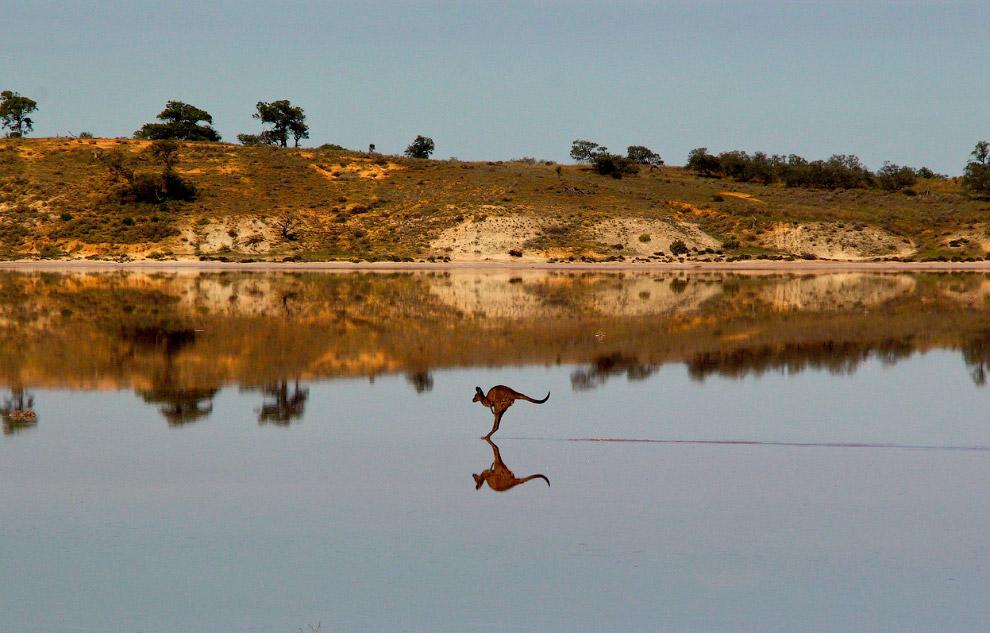 Кенгуру на озере в Австралии