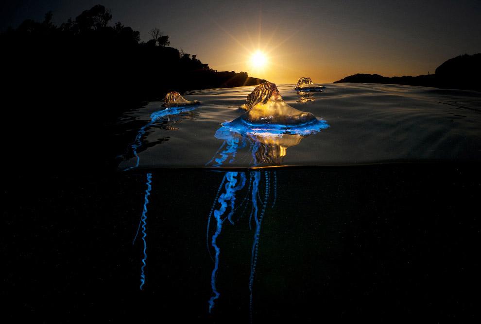 Медуза, Австралия