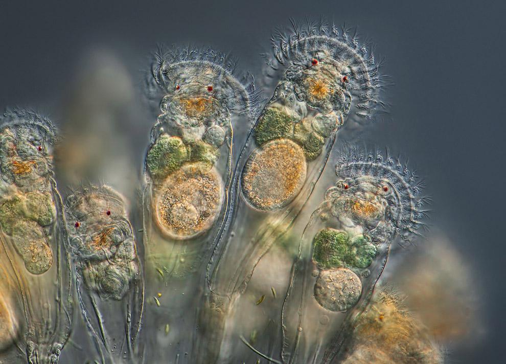 Коловратки — тип многоклеточных животных, ранее относимых к группе первичнополостных червей