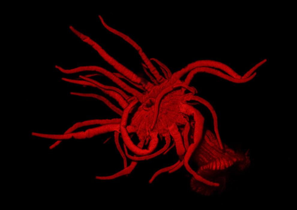 Флуоресцирующий белок хлорофилла зооксантелл, живущий внутри клеток актинии