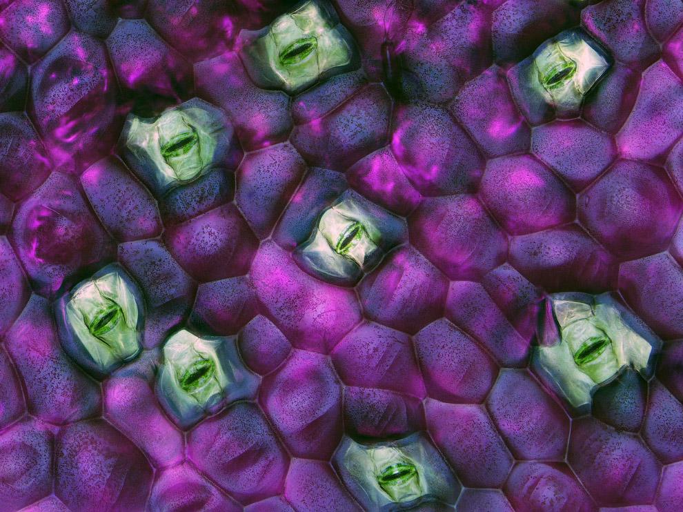 Растение традесканция зебровидная