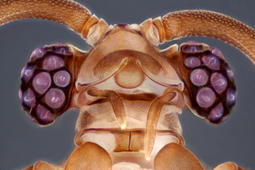 Голова насекомого