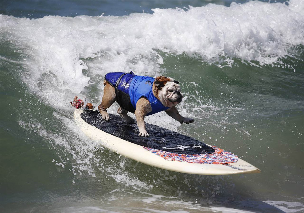 Собачий серфинг в Калифорнии 2014